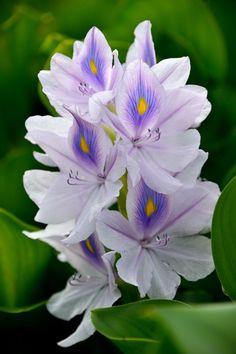 lila virágok ízületi fájdalmak kezelésére)