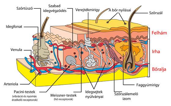 a bőr kötőszöveti betegségei)