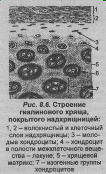 Perichondritis (perichondrium gyulladás): Mi ez? buggarage.huli okai és tünetei