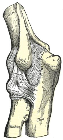 Könyök – Wikipédia
