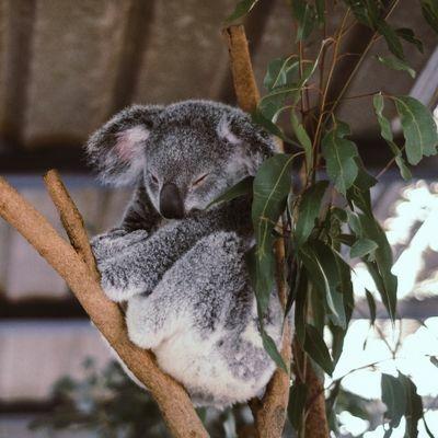 eukaliptusz olaj ízületek kezelésére hogyan kezeljük a térdízületeket a fájdalom miatt