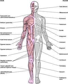 ízületi és izomcsonti sérülések