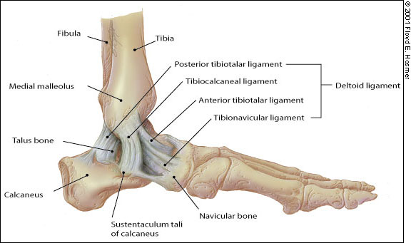 a bokaízület sérülései és törései