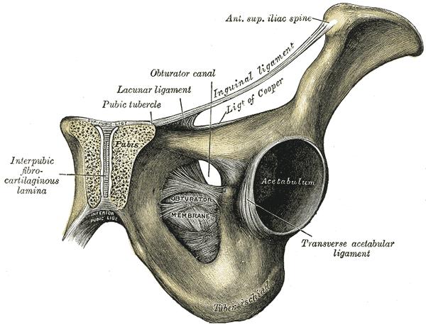az acetabulum csípőízülete fáj térdfájdalom duzzanat az ízület alján