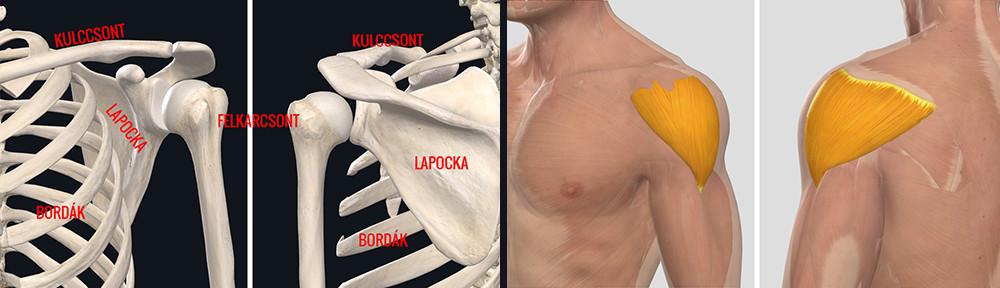 Bordaközi fájdalom - izomhúzódás vagy más az oka?