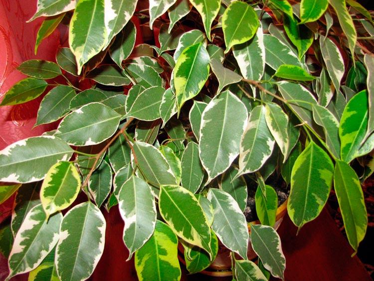 ficus levelek közös kezelésre alacsony pokoli és ízületi fájdalmak