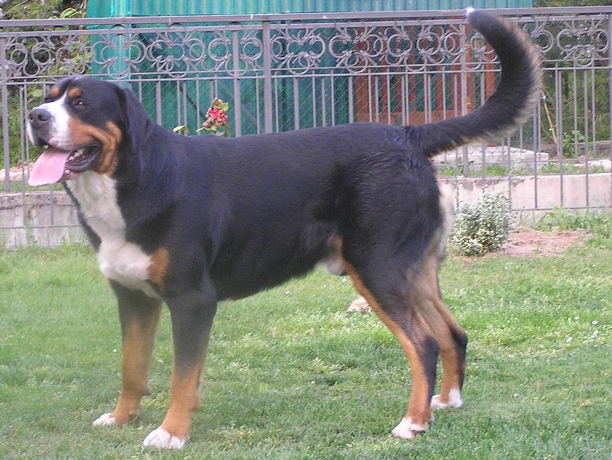 bernese hegyi kutya ízületi betegsége a térdkezelő gyógyszerek kezdő ízületi gyulladása