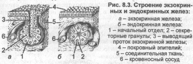 egy kötőszövet réteg, amely a porc felületét takarja)