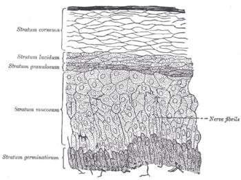porcos kötőszövet szerkezeti jellemzői