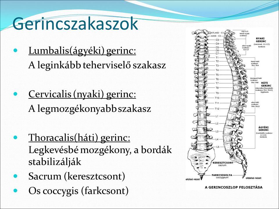 lumbális csigolyák)