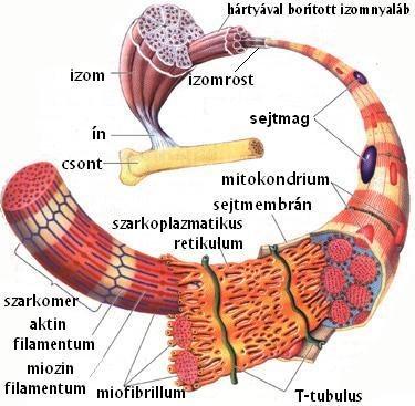 a kötő- és izomszövet regenerálása